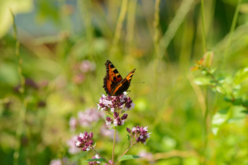 bright butterfly sits on a flower of oregano among the green grass