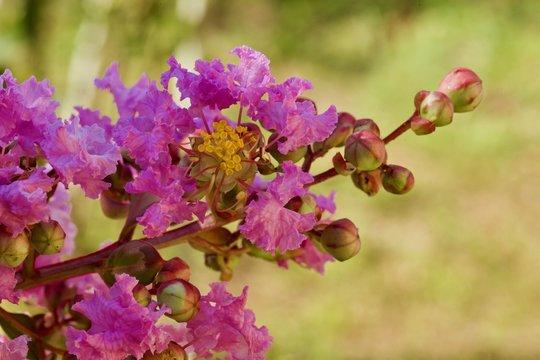 Lagestroemia: particolari di fiori a pannocchia