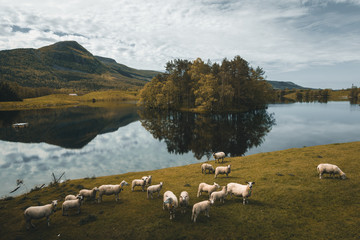 Norwegian landscape with sheeps