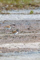 Little ringed plover pairs in the summer