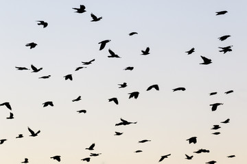 Flock of Jackdaws flying in the sky