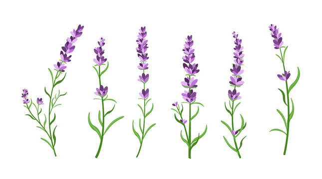 Vector illustration set of lavender flowers elements. Botanical illustrations of lavender branches in design element for decorating, greeting cards, postcards. Flat cartoon design.