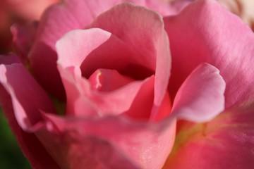 Close up of beautiful pink rose petals