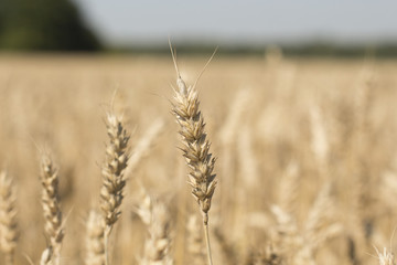 ears of wheat in a close-up field