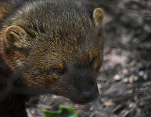Angry Looking Fisher Cat Up Close