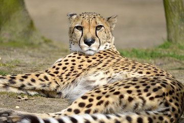 Closeup African Cheetah (Acinonyx jubatus) lying on ground, the head raised looking at the photographer