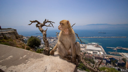 A Barbary macaque monkey in Gibraltar on a sunny day in August.
