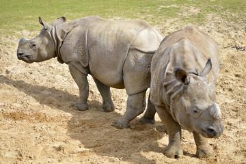 Two Indian rhinoceros (Rhinoceros unicornis) on ground