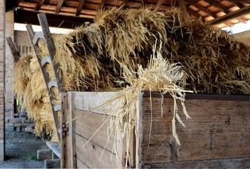 Freshly harvested wheat piled on old wooden farm carts.