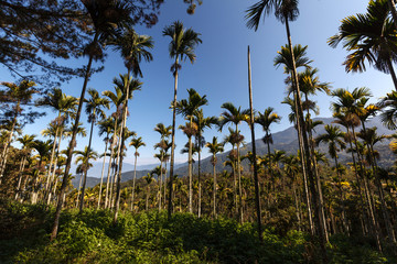 Tall Palm Trees and dense forest, Taiwan landscape scenery - Blue Sky, green foilage on the forest floor. Very tall palm trees reaching for the sky, looking up perspective. Natural landscapes
