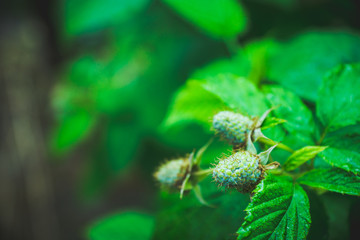 Raspberry bush with unripe berries in the garden. Selective focus.