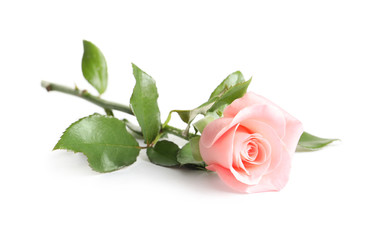 Beautiful rose flower on white background
