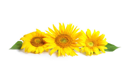 Beautiful bright sunflowers on white background