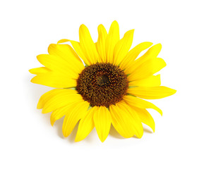 Beautiful bright sunflower on white background