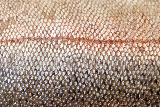 Close up of raw red trout skin, also known as arctic char
