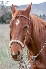 American Quarter Horse in Field