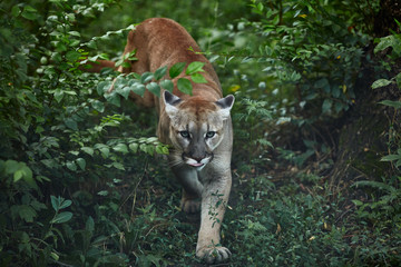 Photo sur Aluminium Puma Portrait of Beautiful Puma. Cougar, mountain lion, puma, panther, striking pose, scene in the woods, wildlife America