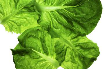 butter lettuce / four-leaf lettuce in close up isolated on white