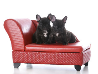 two seven week old french bulldog puppies