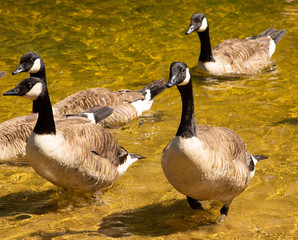 ducks coming out of water