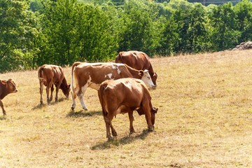 Cows on a dry pasture. Dry meadow. Hot summer. Waiting for the rain.