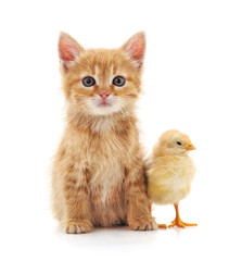 Kitten and chicken.