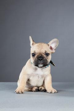 French Bulldog Puppy Cocking His Ear
