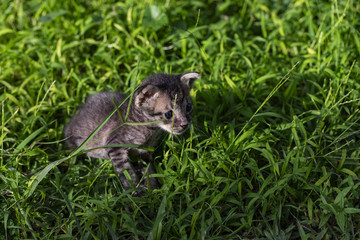 Cute little kitten on green summer grass. Little kitty with blue eyes and small ears. Curious cat baby walk outdoor.