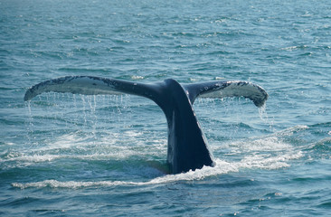 tail of humpback whale in the ocean during whale watch trip