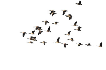 Wall Mural - Large Flock of Canada Geese Flying on a White Background