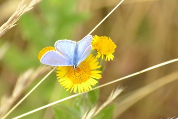 Closeup photograph of a Mazarine blue (Polyommatus semiargus) butterfly with open wings on a  yellow flower.