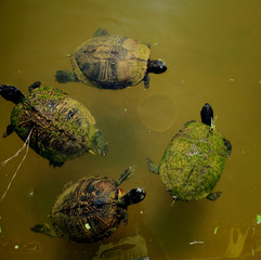 Four Yellow-bellied slider circling in a pond waiting for food in Arapahoe North Carolina