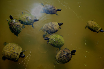 Several Yellow-bellied slider turtles are swarming in a pond waiting to be fed in Arapahoe North Carolina