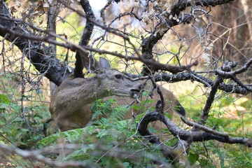 Shiloh Ranch Regional California deer.  The park includes oak woodlands, forests of mixed evergreens, ridges with sweeping views of the Santa Rosa Plain, canyons, rolling hills, a shaded creek