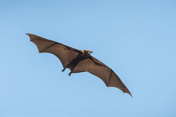Bat flying on blue sky  (Lyle's flying fox ,Pteropus lylei)