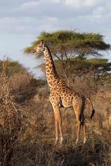 A lone Giraffe (Giraffa) in the wilds of Tanzania.
