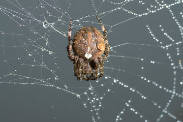 Cross spider sits on his cobweb against sky. (Araneus diadematus). Selective focus with shallow depth of field.