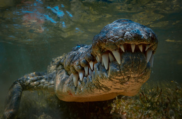 Crocodile underwater shot