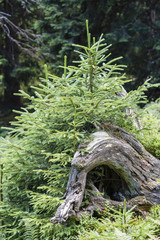 A green young spruce growing in the roots of a rebellious tree.