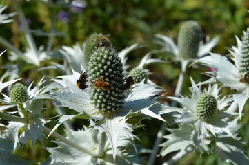 honeybees on eryngium