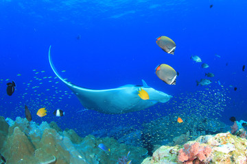 Manta Ray and coral reef in Thailand