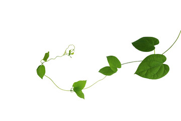 Wall Mural - Heart shaped green leaf of Cowslip creeper (Telosma cordata) jungle vines liana climbing plant isolated on white background, clipping path included.