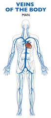 Vene nel corpo umano, anatomia. Una vena, in anatomia, è un vaso sanguigno che conduce il sangue verso il cuore