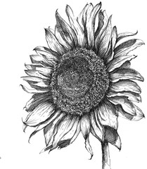 Hand drawn sketch sunflower