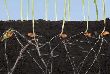 Roots of wheat germinated seeds