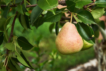 Beautiful ripe pear hanging on a branch against a background of green leaves