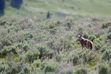 Coyote nel parco nazionale di Yellowstone in Wyoming
