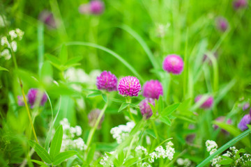 Beautiful Nature summer background with clover flowers