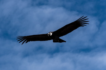 Condor of the Andes biggest bird of the world from Peru