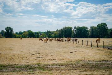 Klimawandel - Dürre, Rinder auf kahlgefressener Weide